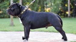 Avatar Dark Milo Staffordshire bull terrier