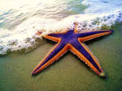 Royal starfish