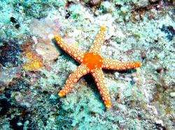 Starfish, Mauritius.jpg