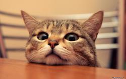 Staring Cat desktop wallpaper