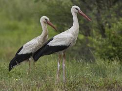 A Pair of White Storks in the veld