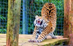Stretching jaguar