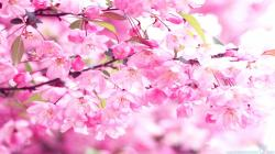 Cherry Blossom Wallpaper Stunning Awesome Photos 16054