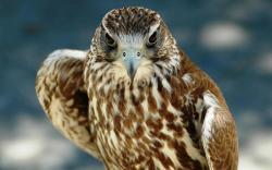 Stunning Falcon Wallpaper