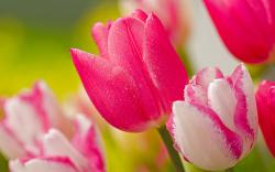 Hot Pink Tulips
