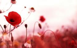 HD Poppy Wallpaper