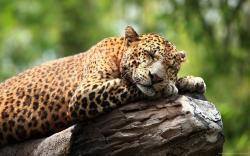 ... Stunning Leopard Resting On Rock Wallpaper for 1920x1200