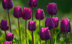Summer purple tulips