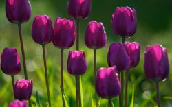 Summer purple tulips