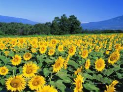 Sunflowers in Summer 8 - AP18039_summerwallcoo.com.jpg