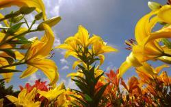 Summer yellow lily flower field