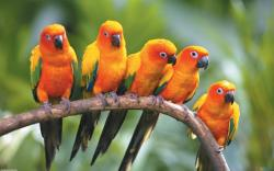 Sun Conure Parrots HD wallpapers