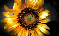 SUnflower Art Wallpapers Pictures Photos Images. «