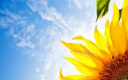 Desktop Wallpaper Gallery Windows Sky Sunflower Free