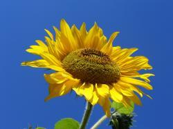 File:Sunflower from Silesia.JPG