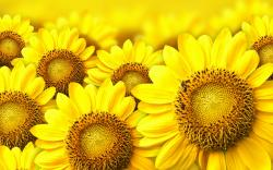 Yellow Sunflower Wallpaper Pinit Gallery 1920x1200px