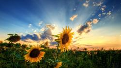 Awesome Sunflower Wallpaper ...