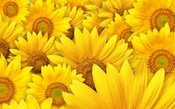 awesome sunflower high resolution wallpaper