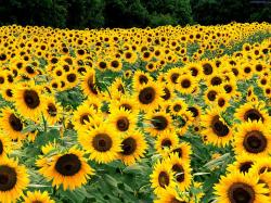 Field of sunflowers photo: ...