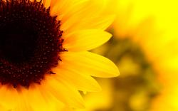 Sunflowers HD Wallpapers 5