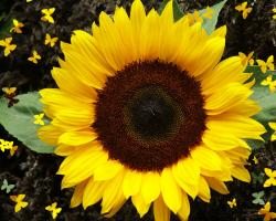 I just love Sunflowers, don't you? They're so bright and cheery, bold yet comfortable.