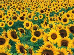 Sunflowers are an all-time garden favourite. They are very easy to grow, making this an ideal garden project for the very young to learn about growing ...