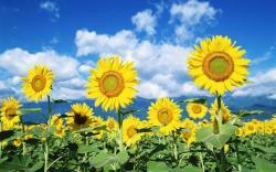 sunflower seeds ~sunflowers~