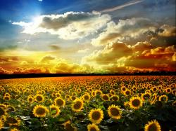 Sunflower Field Wallpaper #2