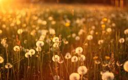 Sunset Dandelions Field Nature