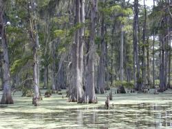 Swamp in southern Louisiana