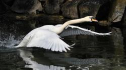 Swan Hd Wallpaper