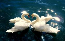 DOWNLOAD: Swans pictures.jpg free picture 2560 x 1600