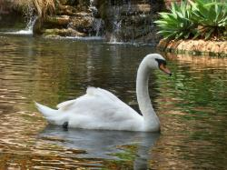 ... Swan Wallpaper ...