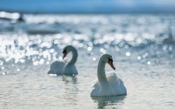 Animal - Mute Swan Wallpaper