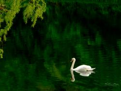 White Swan in a Pond