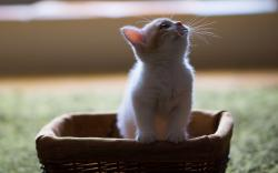 Sweet Kitten Basket