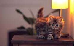 Cute Kitten On Table HD Wallpaper