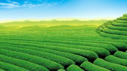 Description: The Wallpaper above is Tea Garden Wallpaper in Resolution 1920x1080. Choose your Resolution and Download Tea Garden Wallpaper