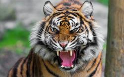 Description: The Wallpaper above is Threatening Tiger Wallpaper in Resolution 1920x1200. Choose your Resolution and Download Threatening Tiger Wallpaper