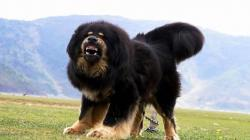 SWAT police shot death giant Tibetan Mastiff: the COPS so cruel or deserve the Mastiff?