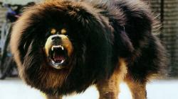 The World's Most Terrifyingly Awesome & Terrifyingly Expensive Dog - Tibetan Mastiffs