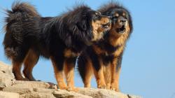 chewbacca · Tibetan_Mastiff_908082 · Tibetan-Mastiff-Nice-Dog