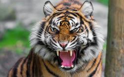 Threatening Tiger