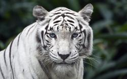 ... Tiger #04 Image ...