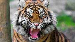 3840x2160 Wallpaper tiger, face, teeth, anger, big cat