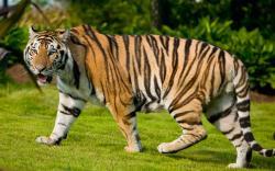 Tiger · Tiger ...