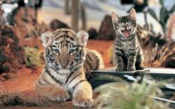 Tiger cub yawning kitty