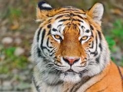 1920x1440 Wallpaper tiger, face, eyes, aggression, predator