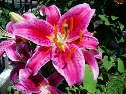 Tiger Lily Flower