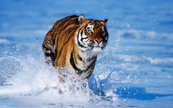 Tiger widescreen